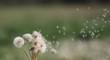 White fluffy dandelions in the field, dandelions fly in the wind