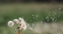 White Fluffy Dandelions In The...