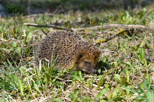 Photo Wild hedgehog in the grass, agitated.