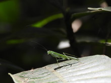 A Beautiful Green Praying Mantis Resting On A Leaf