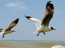 Seagull Series: