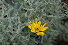 Close-up Of Yellow Gazania Blooming Outdoors
