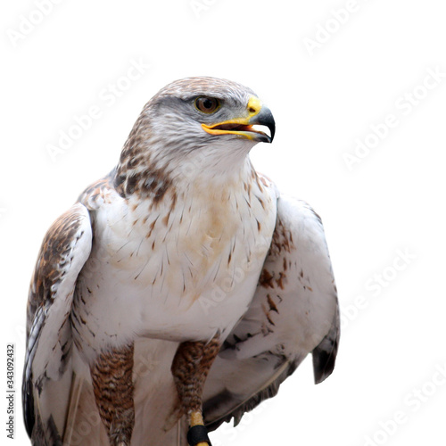 Photo hawk with open beak on the white background