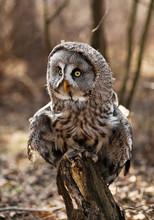 Big Brown Owl On Blurry Backgr...