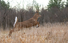 White-tailed Deer Buck Jumping Through The Air After A Doe In The Forest During The Rut In Canada