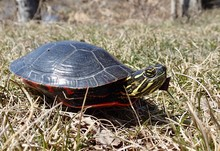Painted Turtle In The Wilderness
