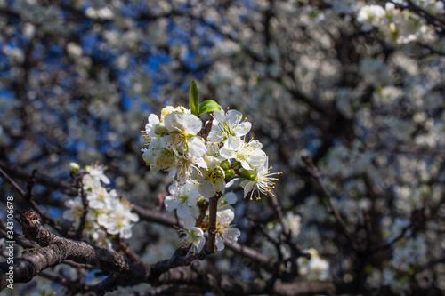 Fotografie, Tablou Prunus spinosa, called blackthorn or sloe