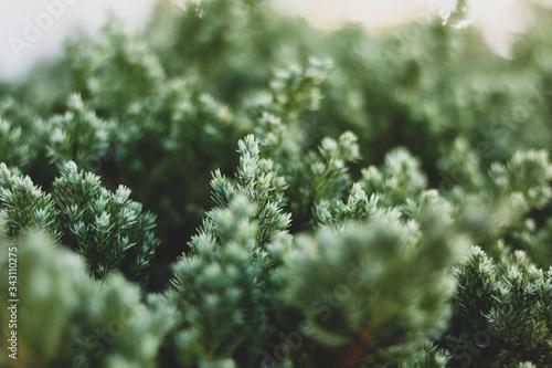 Fotografie, Obraz Close-up Of Pine Tree