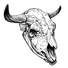 Bull / Cow / Aurochs Skull With Horns On White Background