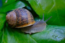 Land Snail Among Ivy Leaves