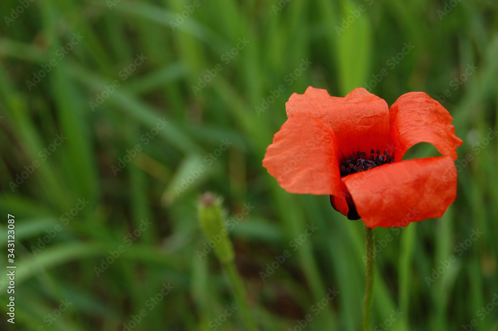 Fototapeta kwiat maku, poppy flower, nature, summer, lato