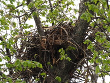 Crow's Nest On Spring Tree