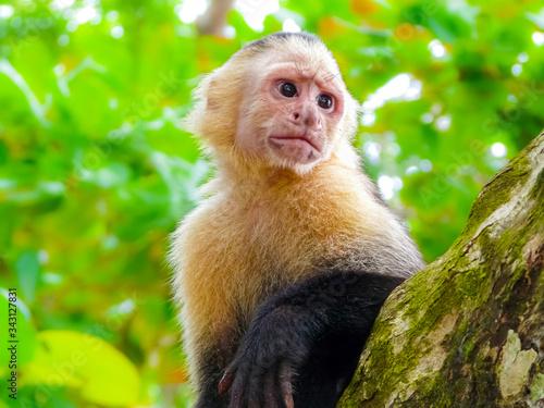 White-faced capuchin monkey, Manuel Antonio National Park, Quepos, Costa Rica Fototapet