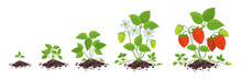 Strawberry Plant Growth Stages...