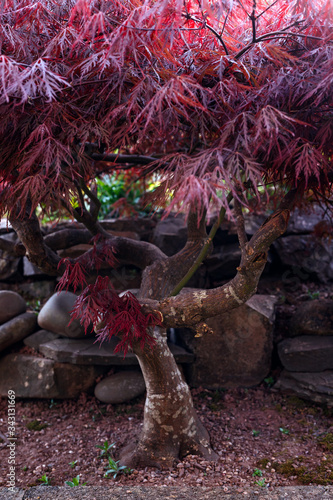 Photo Red foliage of the weeping Laceleaf Japanese Maple tree, Acer palmatum in garden