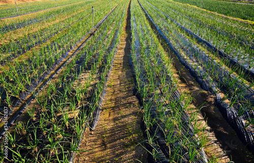 Photo Green onions growing on plantation