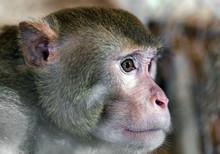 Monkey Portrait Macaque Sri Lanka
