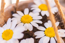 Spring Daisies Planted In A Cl...