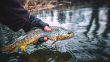 Brook Trout In The Hand Of A F...