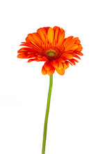 Tilted Side View Of Orange Gerbera Or African Daisy With A Green Stem, Isolated On White Background