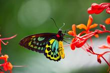 A Richmond Birdwing Butterfly (narrow Depth-of-field)