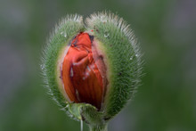 Close-up Of Red Flower Bud
