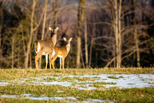 White-tailed Deer  Female Adul...