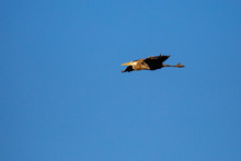Great Blue Heron  Flying In Front Of A Blue, Wisconsin Sky In April