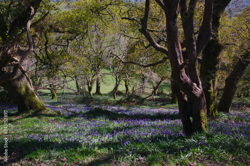 spring bluebell woods Canvas Print