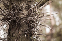Long Thorns On A Branch