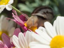 Snail Among Daisy Flowers