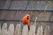 Northern Cardinal Perched On Fence In Springtime
