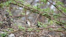 Little Bird Sparrow On A Blackberry Bush.