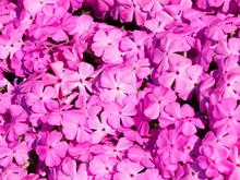 Phlox Subulata | Phlox Rampant Ou Phlox Subulé Aux Abondantes Fleurs Flammées, étoilées, Pétales Cordiformes, Veinés, Rose Pâle, Tachetée Autour Du Coeur De Rose Foncé