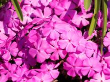 (Phlox Subulata) Phlox Rampant Ou Phlox Mousse Formant Un élégant Tapis De Fleurs étoilées Aux Pétales Roses