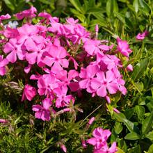 (Phlox Subulata) Phlox Rampant Formant Un élégant Tapis De Fleurs étoilées Rose Tubulaires Au Feuillage Ciliées Vert Tendre Au Printemps
