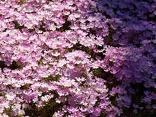 Phlox Subulata | Phlox Rampant Ou Phlox Subulé Aux Abondantes Fleurs à Pétales De Couleur Rose Clair Teinté De Rose Foncé