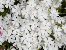 Phlox Subulata | Phlox Rampant Ou Phlox Subulé Aux Abondantes Fleurs à Pétales Cordiformes, Veinés De Couleur Blanche