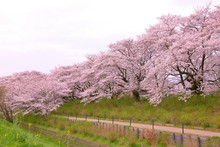 A Walkway Of Cherry Blossom Tr...