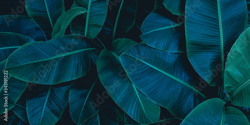 Fototapeta tropical banana leaf texture in garden, abstract green leaf, large palm foliage nature dark green background obraz
