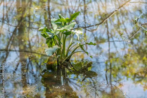 Photo Broadleaf arrowhead plant