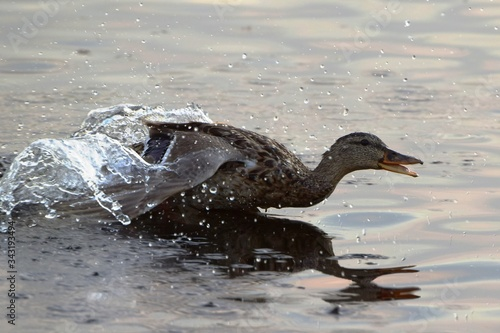 Photo Mallard (Anas platyrhynchos) - a bird from the duck family (Anatidae), swims on