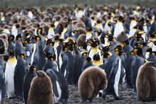 A Flock Of King Penguins At Sa...
