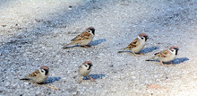 A Flock Of Sparrows On The Pavement, Lit By The Sun. Concept - Nature Conservation, Leader