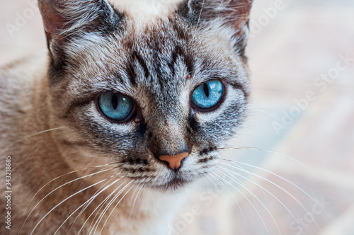 Fototapety, obrazy: Gray domestic cat with blue eyes in rural area