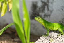 Close-up Of Green Lizard On Rock