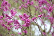 canvas print picture - magenta flowering tree