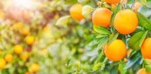 Orange Tree, Summer Background