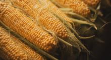 Raw Ear Corn. Texture Backgrou...
