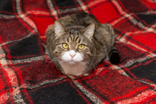 Large Grey Cat Is Lying  On A Red Blanket
